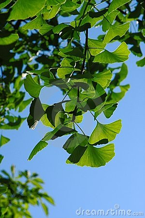 Ginkgo biloba leaves in back light
