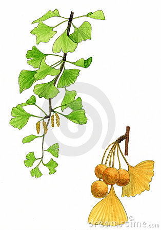 Ginkgo biloba leaves and fruit (Ginkgo biloba)