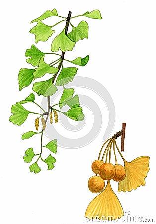 Ginkgo biloba leaves and fruit (Ginkgo biloba)