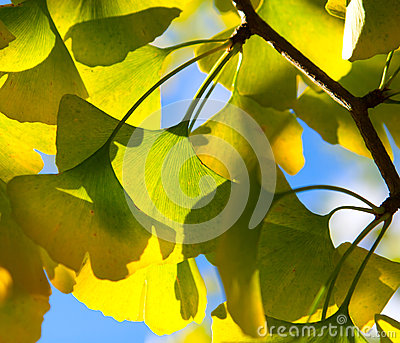 Ginkgo leaves in the forest