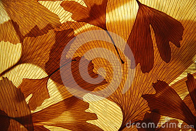 Ginkgo leaves texture