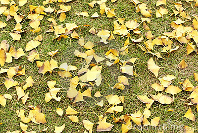 Ginkgo tree leaves on grassplot