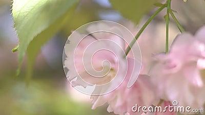 Gioco Di Sunbeams Attraverso La Filiale Di Cherry Rosa In Cielo Nel Giorno Della Sole