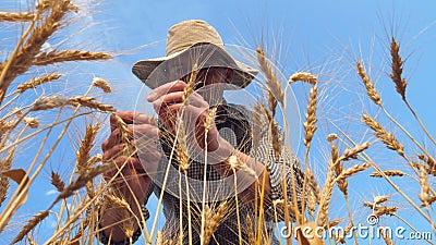 Giovane agronomo che esplora i gamberetti d'orzo maturi nella piantagione d'oro Agricoltore maschile che esamina le orecchie di f stock footage