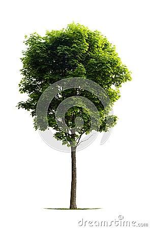 Giovane albero di acero