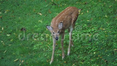 Giovane Fawn Deer Feeds nel campo stock footage