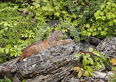 Giovane gatto selvatico