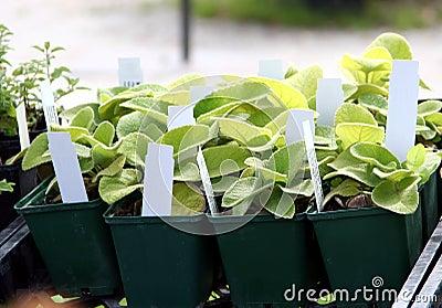 Giovani piante perenni
