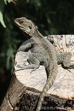 Free Gippsland Water Dragon (Physignathus Lesueurii Howittii) Stock Photos - 34798543