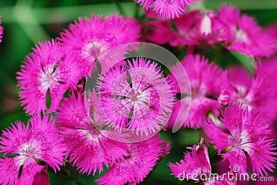 Gipsy flower