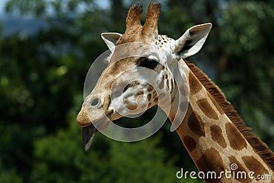 Girafe face
