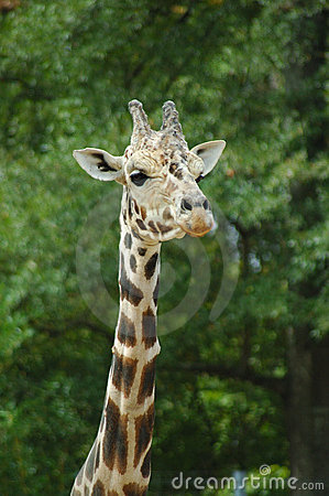 Girafe head and neck