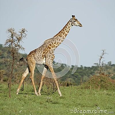Girafe in the Serengeti