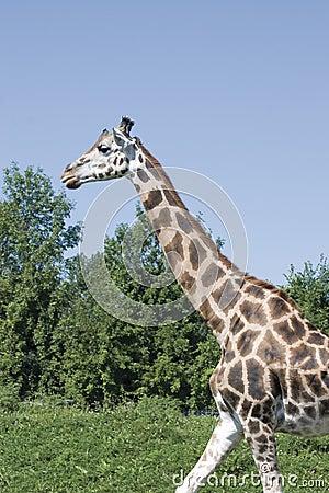 Girafe walking