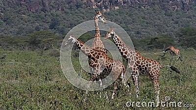 Giraff för Rothschild ` s, giraffacamelopardalisrothschildi, flock som går till och med savann, Nakuru Park i Kenya,