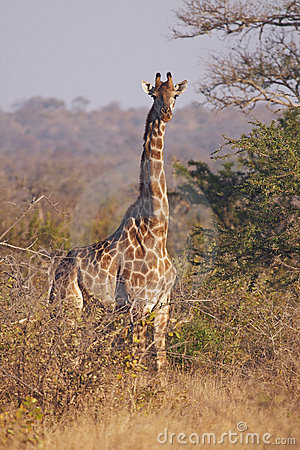 Giraffa attenta nel bushveld spinoso