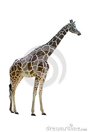 Free Giraffe Royalty Free Stock Images - 10027889