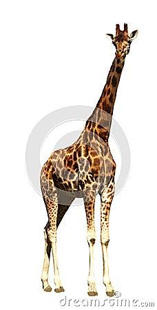 Free Giraffe Stock Photo - 10892920