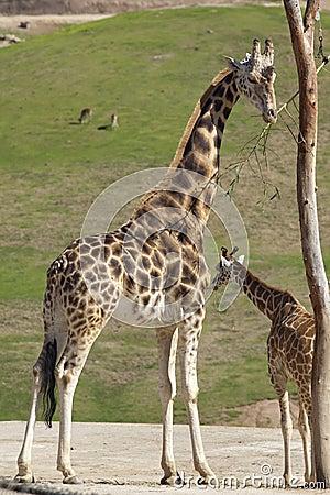 Free Giraffe Royalty Free Stock Photography - 13082917