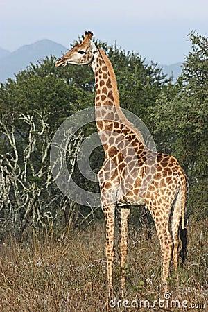 Free Giraffe Royalty Free Stock Photography - 15502107