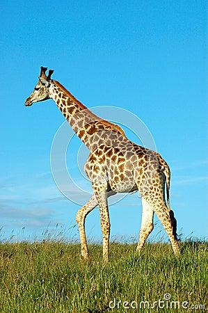 Free Giraffe Stock Photo - 1593720