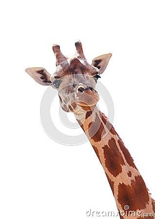 Free Giraffe Stock Photography - 16549592