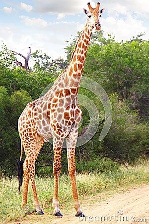 Free Giraffe Stock Photo - 19383840