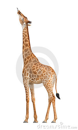 Free Giraffe Stock Images - 19727804