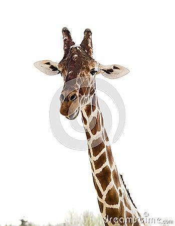 Free Giraffe Royalty Free Stock Photography - 2239497