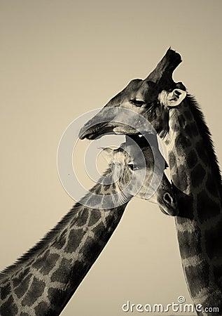 Free Giraffe Royalty Free Stock Photos - 23856368