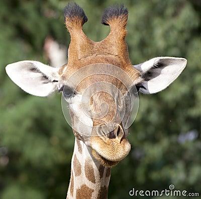 Free Giraffe Stock Photos - 23923053