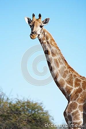 Free Giraffe Stock Images - 2516354