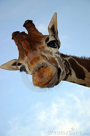 Free Giraffe Stock Images - 2540444