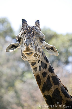 Free Giraffe  Royalty Free Stock Photo - 2710885