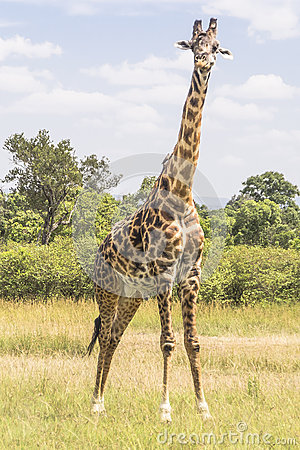 Free Giraffe Royalty Free Stock Photo - 36568905