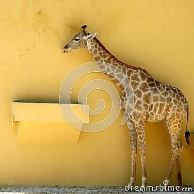 Free Giraffe Royalty Free Stock Photo - 4047585