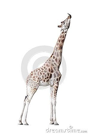 Free Giraffe Royalty Free Stock Photo - 43220395