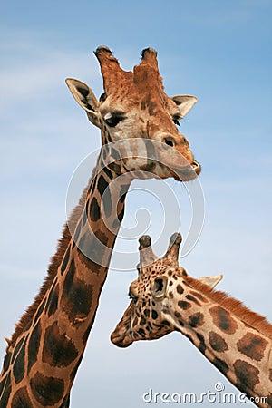 Free Giraffe Royalty Free Stock Images - 4601419