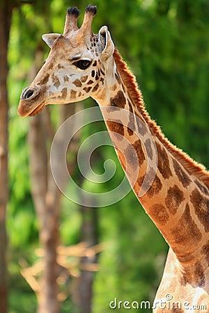 Free Giraffe Stock Images - 5320474