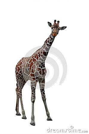 Free Giraffe Royalty Free Stock Image - 5546646