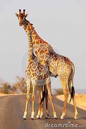 Free Giraffe Stock Image - 55472971