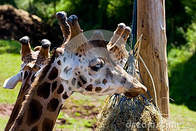 Giraffe Royalty Free Stock Photos - Image: 5978018