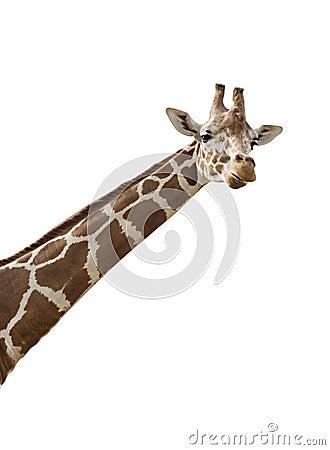 Free Giraffe Stock Photo - 6133200