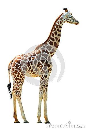 Free Giraffe Stock Images - 6606454