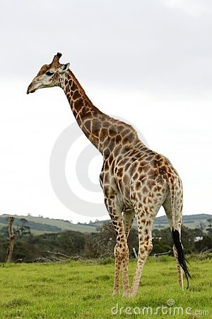 Free Giraffe Royalty Free Stock Photo - 7517995