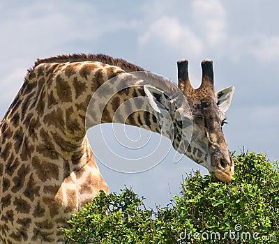 Giraffe και ένα δέντρο, αφρικανική άγρια φύση, σαφάρι