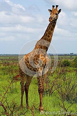 Free Giraffe Royalty Free Stock Images - 991599