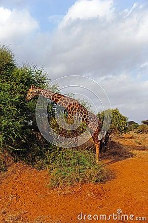 Giraffe at acacia
