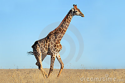 Giraffe on African plains