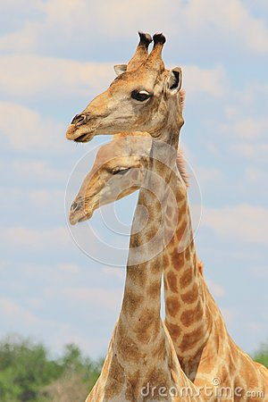 Free Giraffe - African Wildlife Background - Funny Poses In Nature Stock Photos - 61384893
